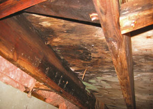 Extensive crawl space rot damage growing in Kersey
