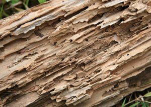 Termite-damaged wood showing rotting galleries outside of a Kane home